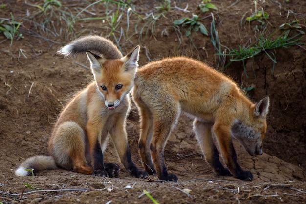 Twee fox spelen met gaten