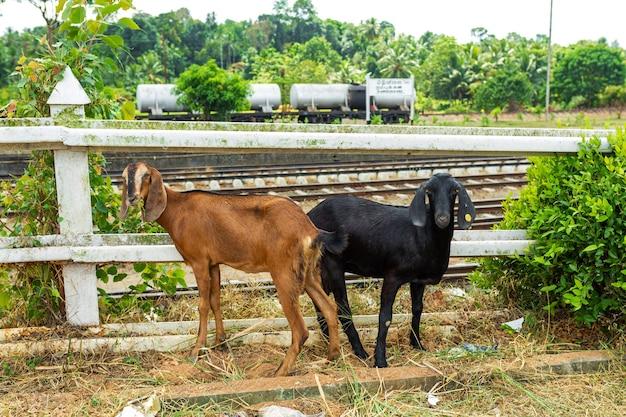 Twee geiten grazen in de buurt van de spoorlijn. ongelukken met dieren op het spoor.