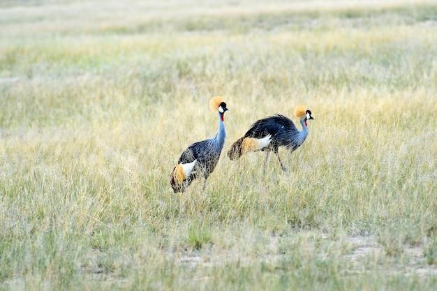 Twee gekroonde kraanvogels in de afrikaanse savanne