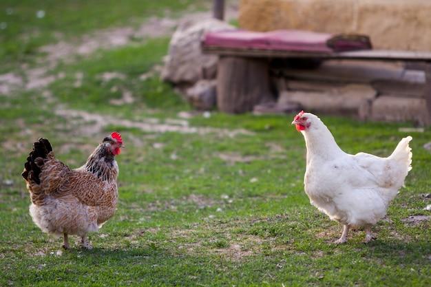 Twee gekweekte gezonde witte en bruine kippen op groen gras buiten in landelijke werf op oude houten schuurmuur backgroundspring op heldere zonnige dag. kippenhouderij, gezond vlees en eierenproductieconcept.