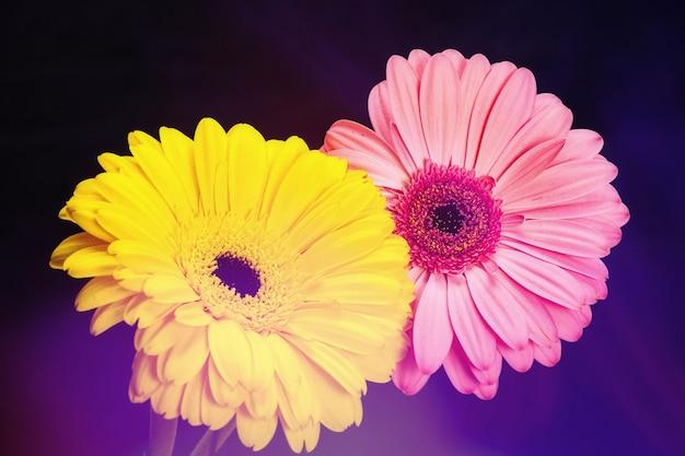 Twee gele en roze gerbera's op een zwarte achtergrond. met uitbarsting