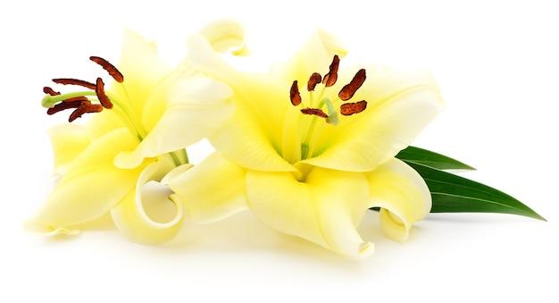 Twee gele geïsoleerde lelies