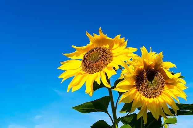 Twee gele zonnebloemen over blauwe hemel, kopieer ruimte