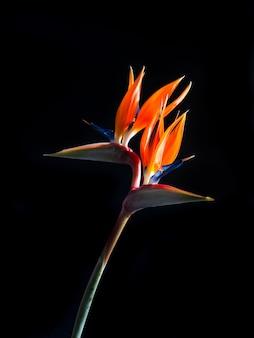 Twee geleide paradijsvogel bloem die op zwarte achtergrond wordt geïsoleerd