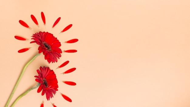 Twee gerberabloemen met bloemblaadjes op lijst