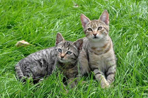 Twee gestreepte katjes die in het groene gras zitten