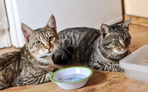 Twee gestreepte katten met hun lege voerbakjes