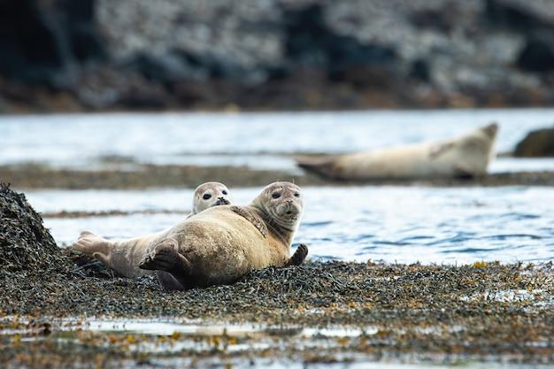 Twee gewone zeehonden die op een kust liggen