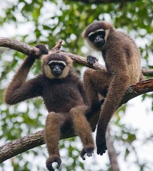 Twee gibbon zitten op de boom. indonesië. het eiland kalimantan. borneo.