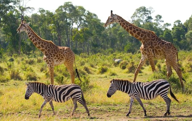 Twee giraffen in savanne met zebra's.