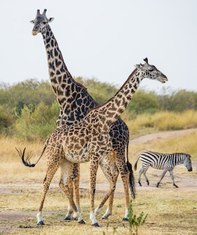 Twee giraffen in savanne