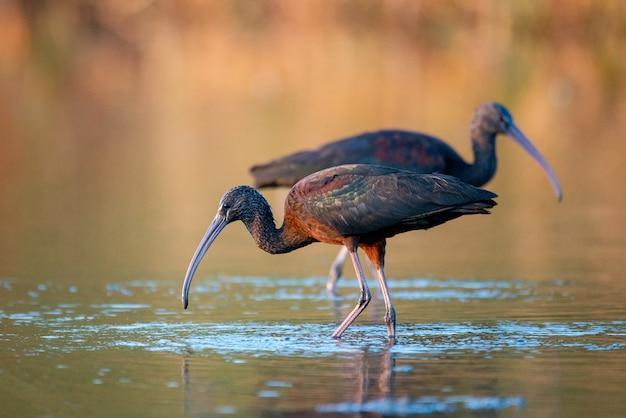 Twee glanzende ibis (plegadis falcinellus) op een mooie achtergrond