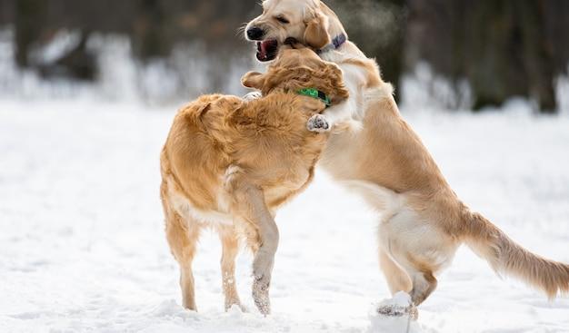 Twee golden retriever-honden spelen samen buiten in de winter met sneeuw