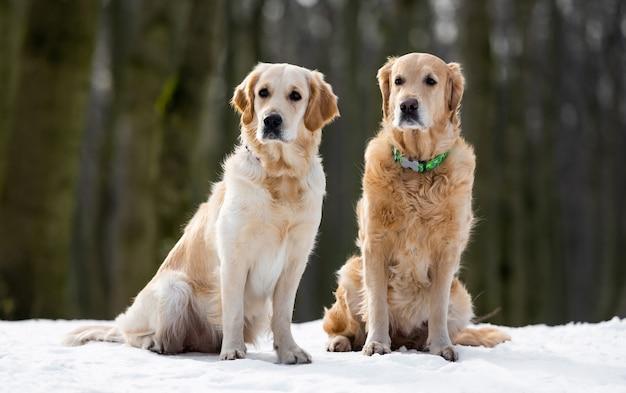 Twee golden retriever-honden, wit en bruin, zittend in de sneeuw en wegkijkend
