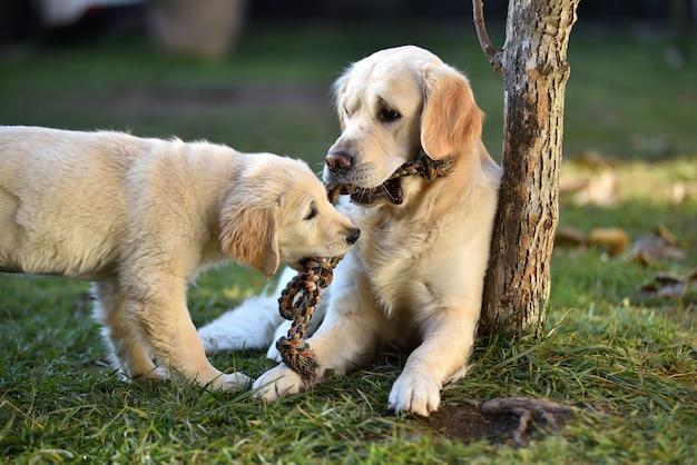 Twee golden retrieverhonden die op gras spelen