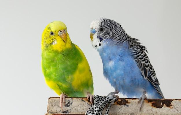 Twee golvende papegaaien zitten op een kooi