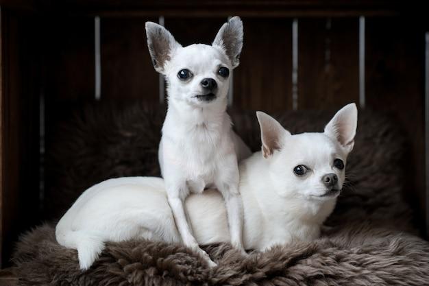 Twee grappige chihuahua puppies liggend op tapijt in hondenhok