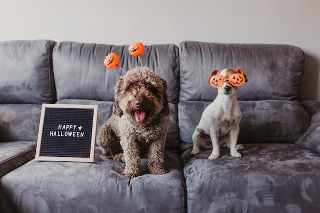 Twee grappige honden die op de bank met halloween-glazen en diadeem zitten. brievenbord bovendien met gelukkig halloween-bericht. levensstijl thuis
