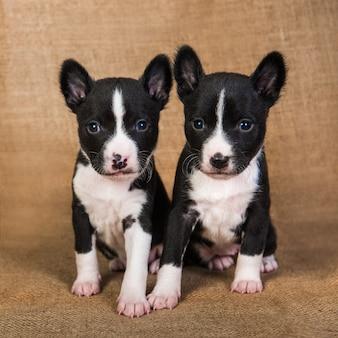 Twee grappige kleine baby's basenji puppies honden op sackcloth achtergrond, wenskaart