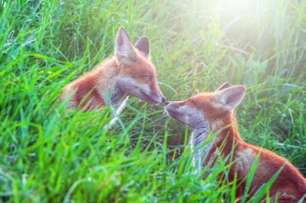 Twee grappige kleine vospuppies spelen op groene weide in de ochtendzon