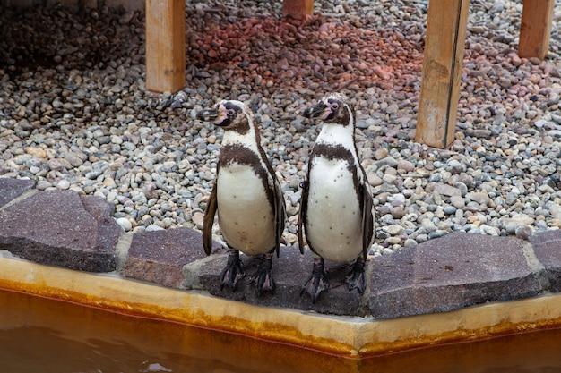 Twee grappige pinguïns staan op een steen aan het water in een dierentuin en kijken in verschillende richtingen.