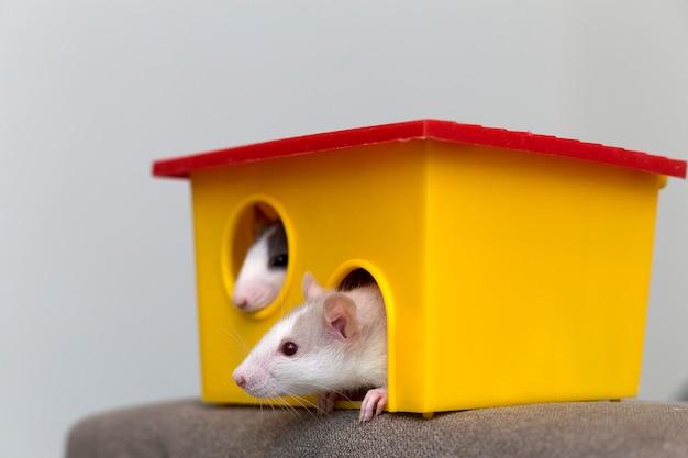 Twee grappige witte en grijze tamme nieuwsgierige muizenhamsters met glanzende ogen die van helder geel kooivenster kijken. huisdierenvrienden thuis houden, zorg en liefde voor dierenconcept.