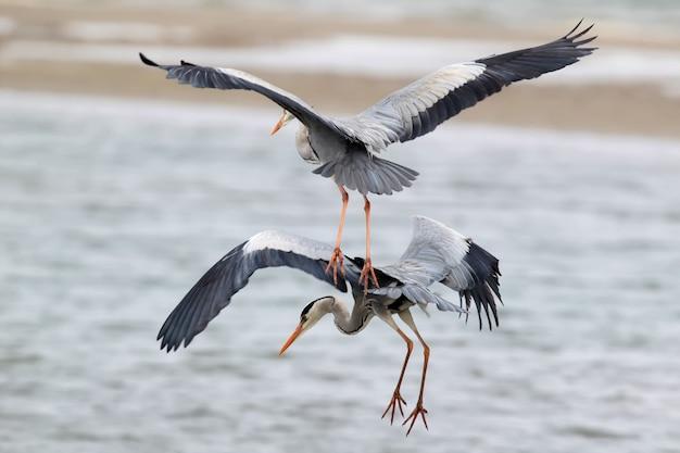 Twee grijze reiger die tijdens de vlucht samen vissen