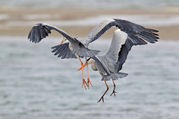 Twee grijze reiger die tijdens de vlucht vissen