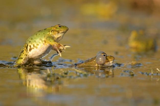 Twee groene marsh frog (pelophylax ridibundus) op een prachtig licht.