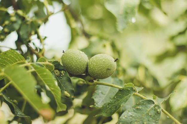 Twee groene walnoot groeien op een boom