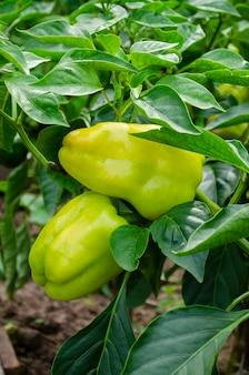 Twee groene zoete paprika op een struik tussen groene bladeren in een tuin op een bed