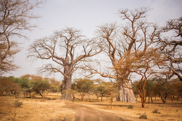 Twee grote baobabs op zandgrond. wild leven in safari. baobab en bush jungles in senegal, afrika. bandia reserve. heet, droog klimaat.
