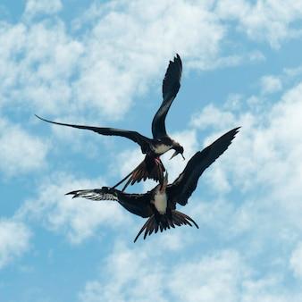 Twee grote fregatvogels (fregata minor) vechten in de lucht, genovesa island, galapagos islands, ecuador