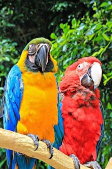 Twee grote kleurrijke papegaaien zittend op een tak