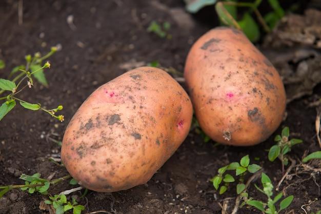 Twee grote vuile verse aardappelen in tuingrond