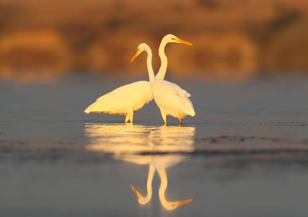 Twee grote witte reigers vissen in kalm water in het zachte ochtendlicht op vaag van de verre kust