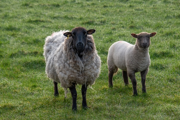 Twee grote wollige schapen grazen in een afgesloten hok op een boerenveld. twee schapen staan naast de camera en een schaap staart naar de camera.