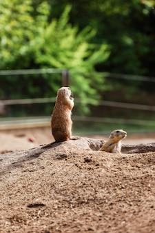 Twee groundhogs