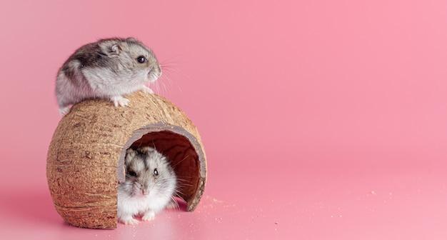 Twee hamsters in een huis gemaakt van kokosnoot op een roze achtergrond met kopieerruimte