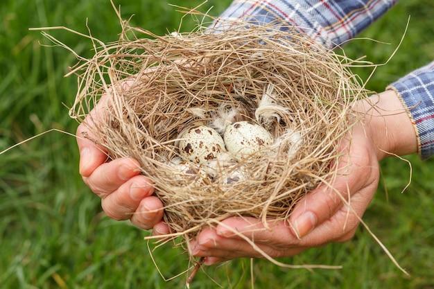 Twee handen die zorgvuldig een nest met kwartelseieren op groene grasachtergrond houden