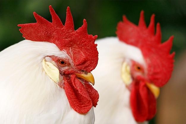 Twee hanen met rode toppen close-up. hoge kwaliteit foto
