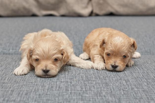 Twee hele kleine maltipu-puppy's liggen naast elkaar