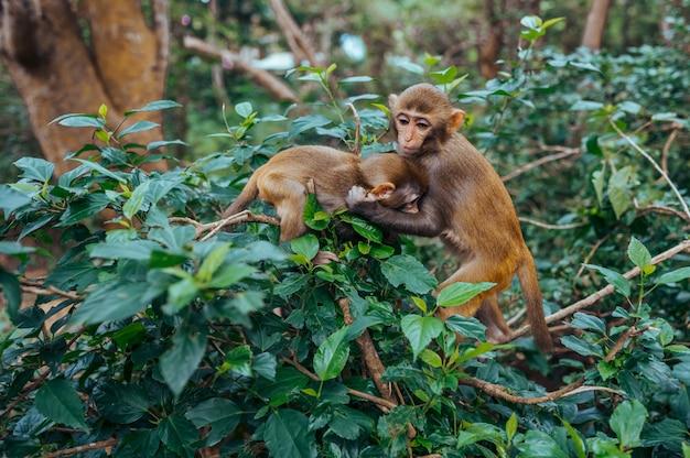 Twee het kleine leuke speelse rode resusaap spelen van gezichtsapen op boom in tropisch aardpark van hainan, china. brutale aap in het bosgebied. wildlife scène met gevaar dier. macaca mulatta.
