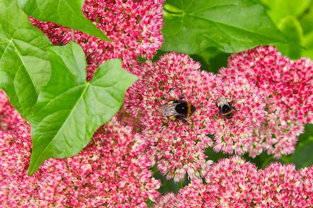 Twee hommels verzamelen nectar van bloemen. selectieve aandacht