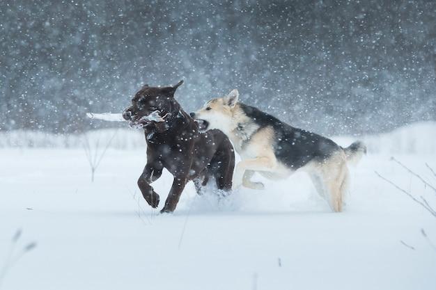 Twee honden aan het wandelen, rennen en spelen in de sneeuw in de winter