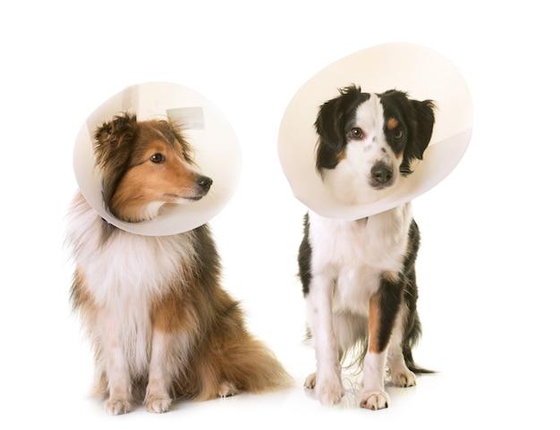 Twee honden en beschermende kraag