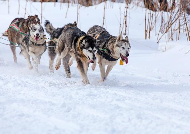 Twee honden in tuig die een slee trekken tijdens wedstrijden in de winter