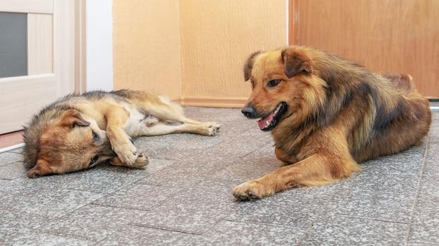 Twee honden liggen in een kamer op de grond tegenover elkaar. grappige dieren