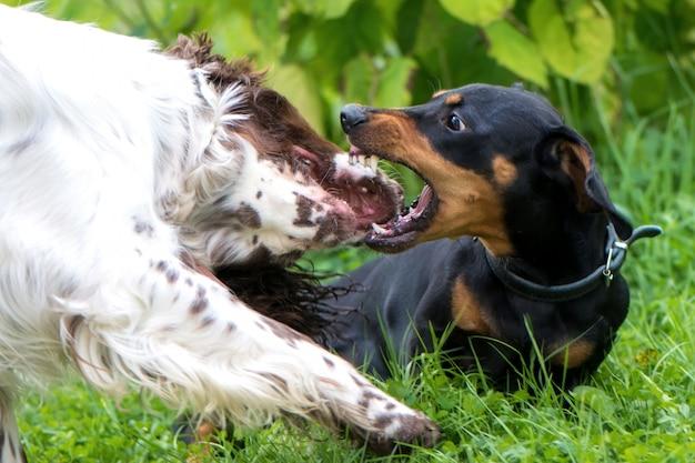 Twee honden spelen ruw in gras