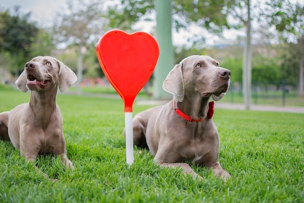 Twee honden van weimaraner fokken zittend in het groene gras van het park en een mooi en groot rood hart in het midden.